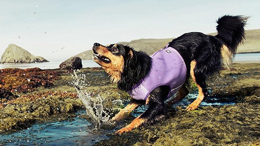 Hund mit Kühlweste spielt in einer Pfütze